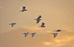 Herons flying at sunset Royalty Free Stock Image