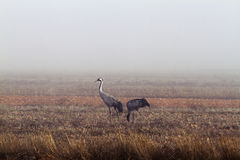 Herons in the fog Royalty Free Stock Image