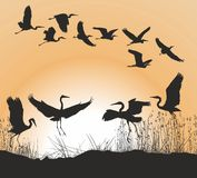 Herons and Geese. Vector illustration herons, reed and sunset Royalty Free Stock Photography