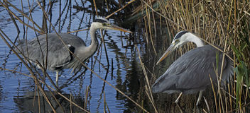 Herons get together Stock Images