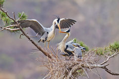 Herons happy family Stock Images