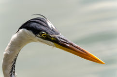 Herons Stock Photography