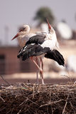 Herons in Marrakesch Royalty Free Stock Photo