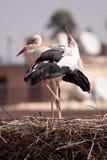 herons marrakesch royaltyfri foto