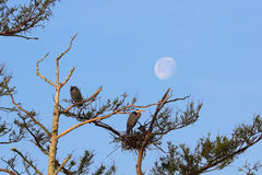 Herons and the Moon. Herons nesting with a waxing moon rising in the background Royalty Free Stock Image