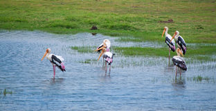 Herons in the national park Stock Image