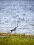 Herons in a national park Stock Images