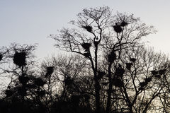 Herons with nests Royalty Free Stock Images