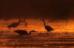Herons in orange. The picture was taken in Hungary Royalty Free Stock Photo