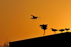 Herons and other birds. Silhouetted against an orange sky Royalty Free Stock Photo