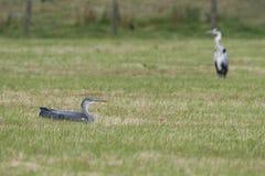 Herons in pasture. In natural park Meinerswijk, Netherlands Royalty Free Stock Photos