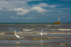 Herons and pelicans catching fish on the shore in Livingston. Guatemala stock images