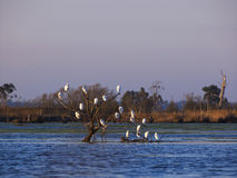 Herons resting Stock Images