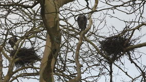 Herons Return to their Nests. Great Blue Herons returning to their nests in a large, tree top rookery stock footage