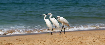 Herons on a sandy beach near the ocean Stock Images