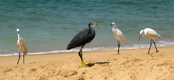 Herons on a sandy beach near the ocean Stock Photos