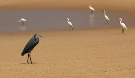 Herons on a sandy beach near the ocean Stock Image