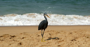 Herons on a sandy beach near the ocean Royalty Free Stock Photo