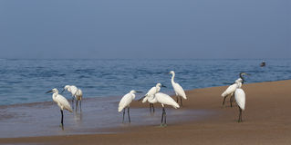Herons on a sandy beach near the ocean Royalty Free Stock Photos