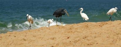 Herons on a sandy beach near the ocean. Kerala, South India Royalty Free Stock Photos