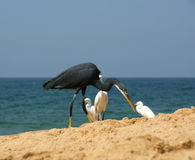 Herons on a sandy beach near the ocean. Kerala, South India Royalty Free Stock Photo