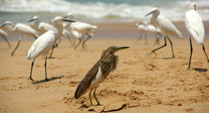 Herons on a sandy beach near the ocean. Kerala, South India Stock Photos