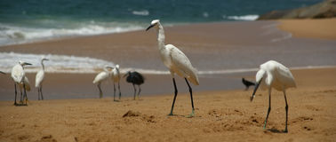 Herons on a sandy beach near the ocean. Kerala, South India Royalty Free Stock Images