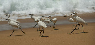 Herons on a sandy beach near the ocean. Kerala, South India Royalty Free Stock Photography