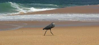 Herons on a sandy beach near the ocean Stock Image