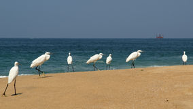 Herons on a sandy beach near the ocean Stock Photography