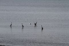 Herons and a seagull hanging out stock images