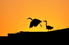 Herons silhouetted. Against an orange sky Stock Photos