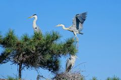 Heron. The herons stand in nest and another flies back. Scientific name: Ardea cinerea Royalty Free Stock Images