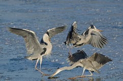 Herons struggling to eat a fish Stock Photography