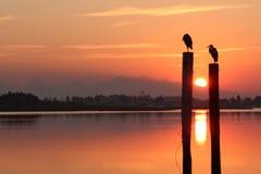Herons at Sunrise Stock Image