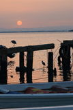 Herons and sunrise Royalty Free Stock Image