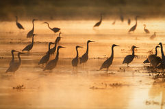 Herons at sunset Royalty Free Stock Photos