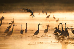 Herons at sunset Stock Image