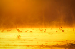 Herons at sunset Royalty Free Stock Images