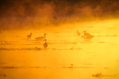 Herons at sunset Royalty Free Stock Photography