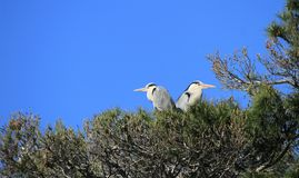 Herons in a tree, Camargue, France Royalty Free Stock Photo