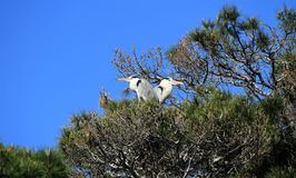 Herons in a tree, Camargue, France stock photography