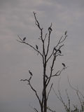 Herons on tree in Zambia Royalty Free Stock Images