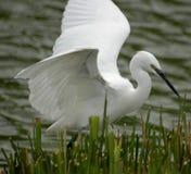 heronwhite Royaltyfri Bild