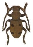 Herophila tritis long-horned beetle Royalty Free Stock Photo