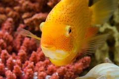 Heros efasciatus (северум красноточечный и. Photo of exotic fish in home aquarium Royalty Free Stock Photos