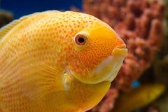 Heros efasciatus (северум красноточечный к. Photo of exotic fish in home aquarium Royalty Free Stock Photo