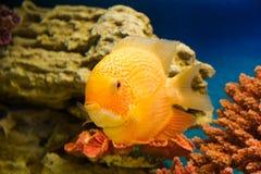 Heros efasciatus (северум красноточечный). Photo of exotic fish in home aquarium Stock Images
