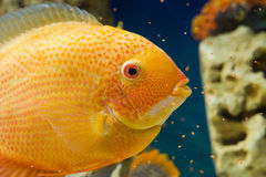 Heros efasciatus (цихлазома северум красно. Photo of exotic fish in home aquarium Royalty Free Stock Photo