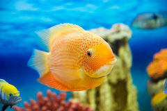Heros efasciatus (цихлазома северум красно. Photo of exotic fish in home aquarium Stock Images